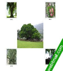 植物榕树主题网页设计作业成品